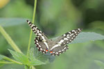Afrikanischer Schwalbenschwanz, Papilio demodocus