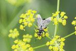 Raupenfliege, Lophosia fasciata