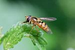 Gelbhaarige Wiesenschwebfliege, Epistrophe melanostoma
