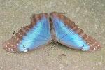 Blauer Morpho, männl., Morpho peleides