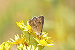 Hauhechel-Bläuling, weibl., Polyommatus icarus