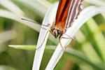 Fackel, Dryadula phaetusa