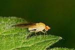 Faulfliege, Meiosimyza rorida