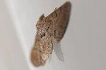 Großer Wacholder-Blütenspanner, Eupithecia intricata