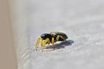 Springspinne, Heliophanus cf. flavipes