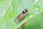 Schwarzkopf-Schwebfliege, Melanostoma scalare