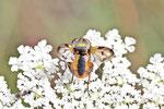 Breitflügelige Raupenfliege, Ectophasia crassipennis