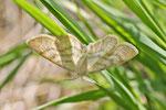 Braunstirn-Weißspanner, Cabera cf. exanthemata