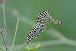 Raupe von einem Schwalbenschwanz, Papilio machaon