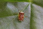 Bunte Blattwanze, Elasmostethus interstinctus