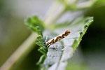 Birkengespinstmotte, Argyresthia goedartella