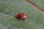 Scharlachroter Stäublingskäfer, Endomychus coccineus