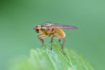 Gelbe Dungfliege, weibl., Scatophaga stercoraria