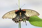 Kleiner Mormon, Papilio polytes