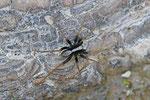 Wolfsspinne, männl., Pardosa lugubris-Gruppe