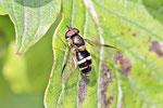 Breitband-Waldschwebfliege, Dasysyrphus tricinctus