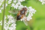 Glänzende Keilfleckschwebfliege, männl., Eristalis rupium