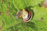 Bänderschnecke, Cepaea sp.