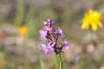 Mücken-Händelwurz, Gymnadenia conopsea