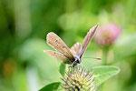 Rotklee - Bläuling, weibl., Polyommatus semiargus