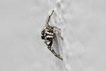 Zebraspringspinne, männl., Salticus scenicus