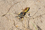 Bienenwolf, Philanthus triangulum