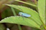 Grüne Zwergzikade, Cicadella viridis