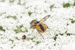 Breitflüglige Raupenfliege, männl., Ectophasia crassipennis