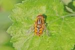 Teichrandschwebfliege, Parhelophilus  sp.