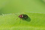 Weiden-Erdfloh, Crepidodera aurata