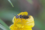 Echte Blattwespe, Tenthredinidae sp.