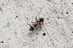 Gemeine Bodenwanze, Rhyparochromus vulgaris