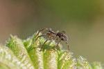Wolfspinne, männl., Piratula hygrophila