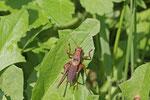 Gewöhnliche Strauchschrecke, männl., Pholidoptera griseoaptera