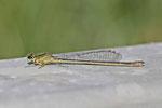 Grosse Pechlibelle, Ischnura elegans, Farbform infuscans-obsoleta