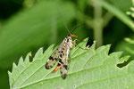 Skorpionsfliege, weibl., Panorpa communis