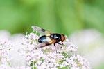 Gem. Waldschwebfliege, männl., Volucella pellucens