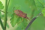 Braune Randwanze, Gonocerus acuteangulatus