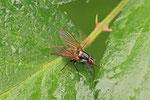 Blumenfliege, weibl., Eutrichota schineri