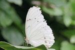 Weißer Morphofalter, Morpho polyphemus