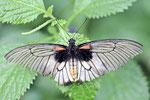 Großer gelber Mormon, weibl., Papilio lowi