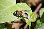 Weissbandschwebfliege, Leucozona lucorum/inopinata
