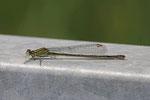 Große Pechlibelle, Ischnura elegans, Farbform infuscans