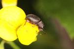 Erdbeerwurzelrüssler, Otiorhynchus ovatus