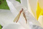 Libelle, noch unausgefärbt, nicht näher bestimmbar