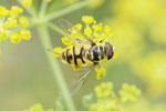 Totenkopfschwebfliege, Myathropa florea