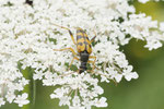 Gefleckter Schmalbock, Rutpela maculata