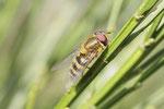 Behaarte Schwebfliege, männl., Syrphus torvus