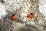 Siebenpunkt, Coccinella septempunctata