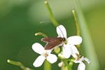 Langhornmotte, Cauchas rufimitrella